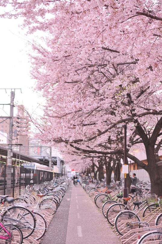 Sakura Time Japan Japan Sakura Cerisiers Japon Pink Cherry Blossom Japan Nature Photography Beautiful Places