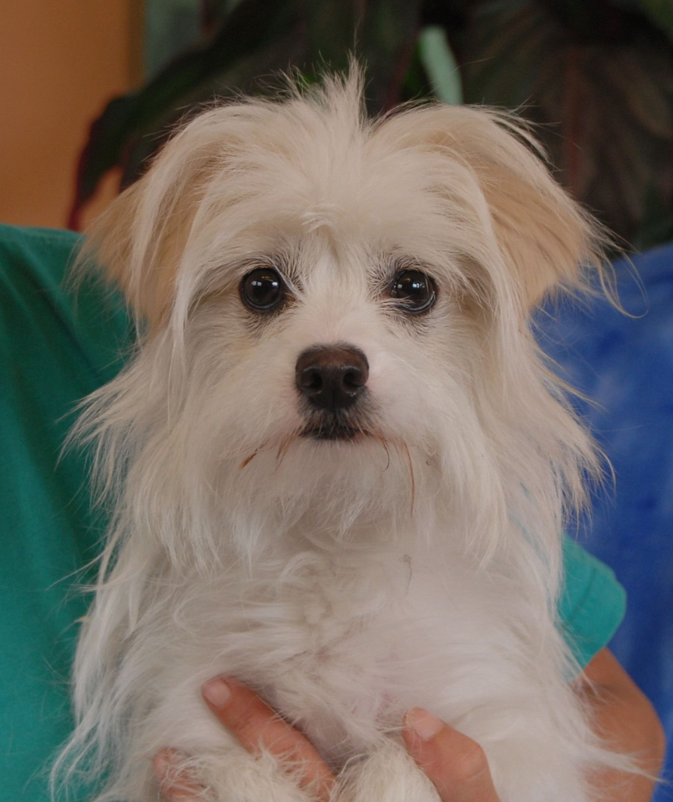 Princess Cannot Understand Becoming Homeless When She Did Nothing Wrong Her Previous Owner Would Only Say She C Maltese Poodle Mix Dog Friends Dog Adoption