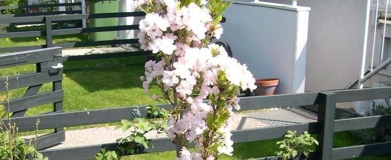 Flagpole Cherry Japanese Flowering Cherry Prunus Serrulata Amanogawa In 2021 Japanese Flowering Cherry Prunus Serrulata Hydrangea Serrata