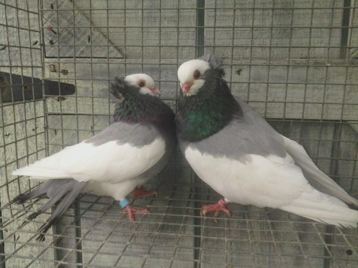 Pet Birds For Sale In Nc