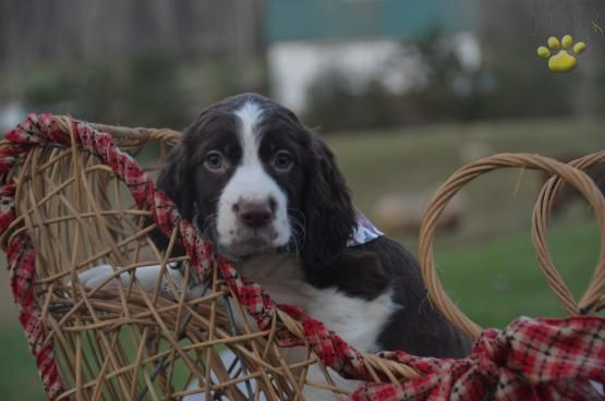 Poppy English Springer Spaniel Puppy for Sale in East