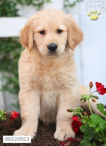 Princess Golden Retriever Puppy For Sale In Narvon Pa Golden