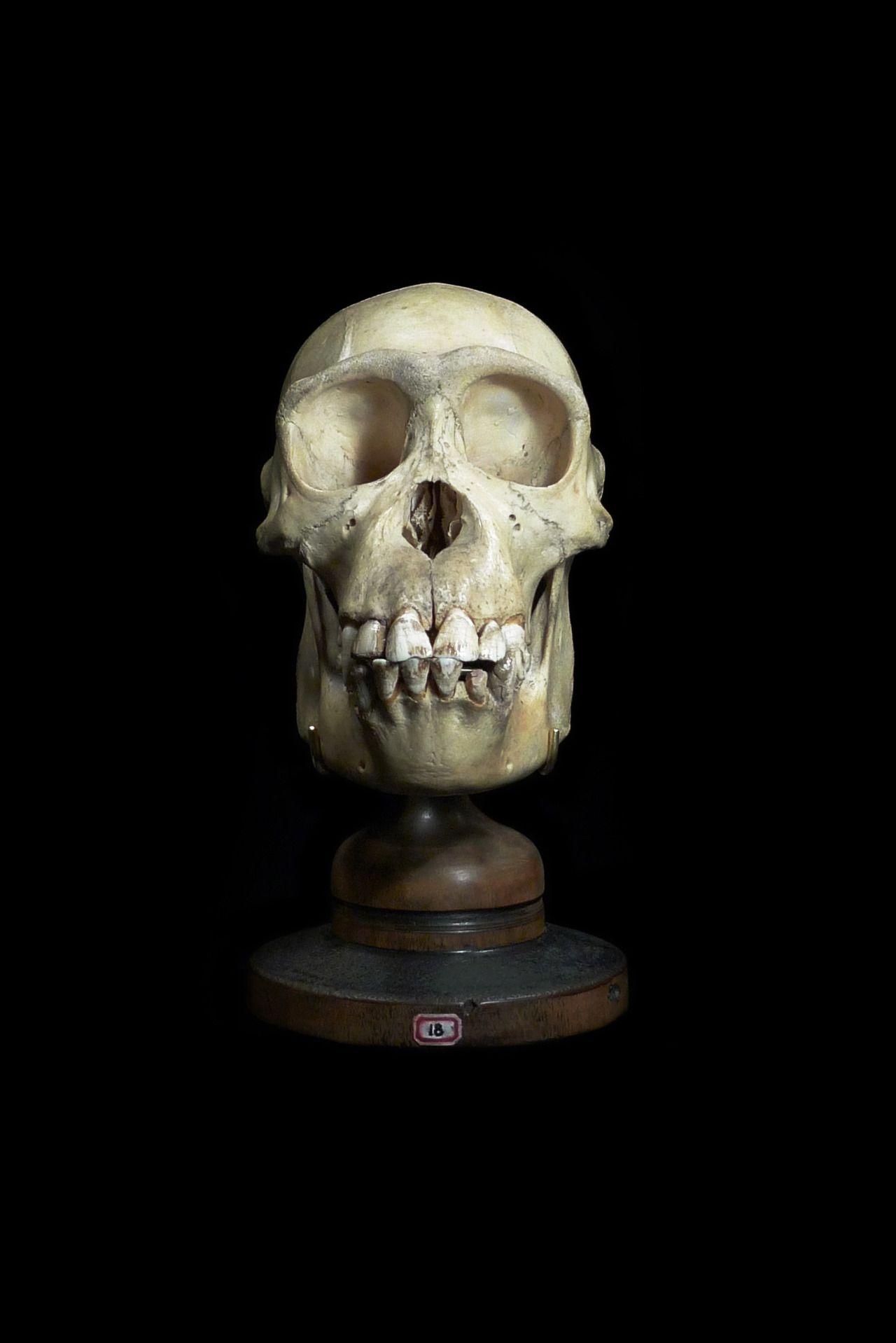Primate Skull | Primates | Pinterest