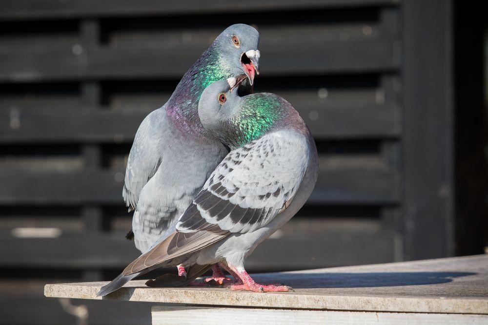 الحمام الزاجل او حمام السباق موضوع شامل عن هذا الطائر طيور العرب Pigeon Bird Homing Pigeons Bird