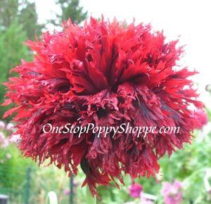 Papaver laciniatum taffeta red with purple want for my garden buy poppy flower seeds taffeta red with purple poppies mightylinksfo