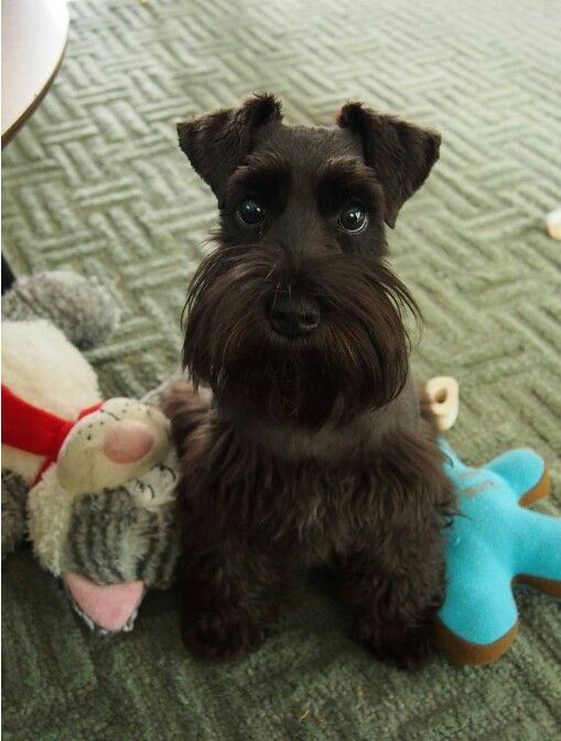 I Just Love This Face Schnauzer Puppy Mini Schnauzer Puppies Cute Animals
