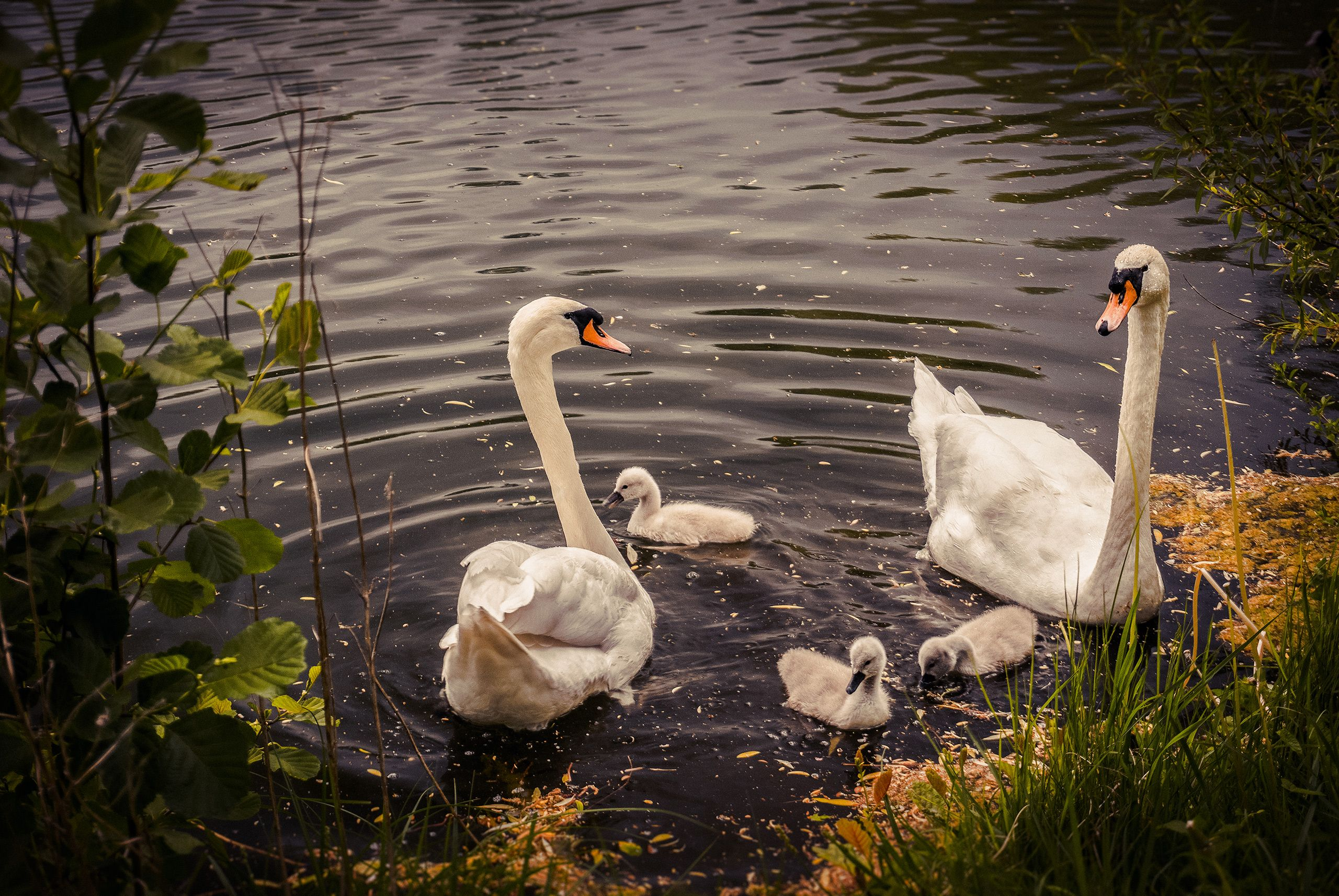 #lake #see #swan #swans #schwan #schwaene #schwanenfamilie #schwanenbaby #swanbaby #swanfamiliy #swanbabies #schwanenbabys