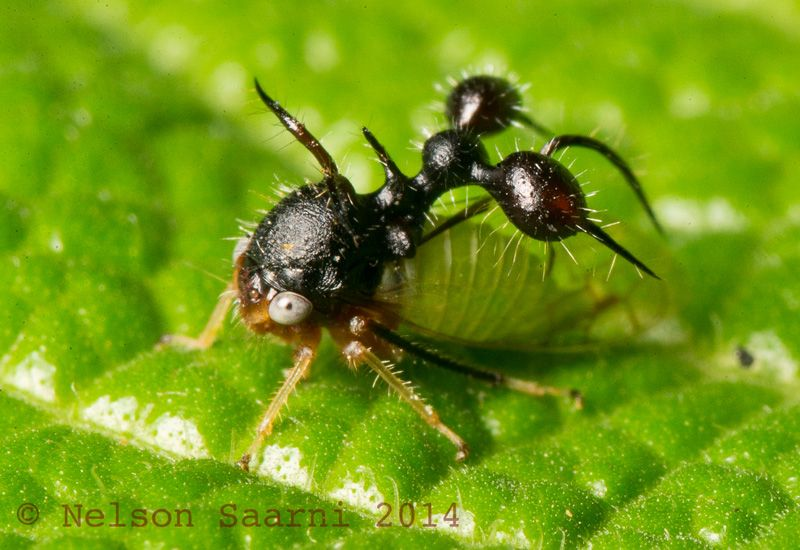 Ant-Mimic Treehopper from Colombia