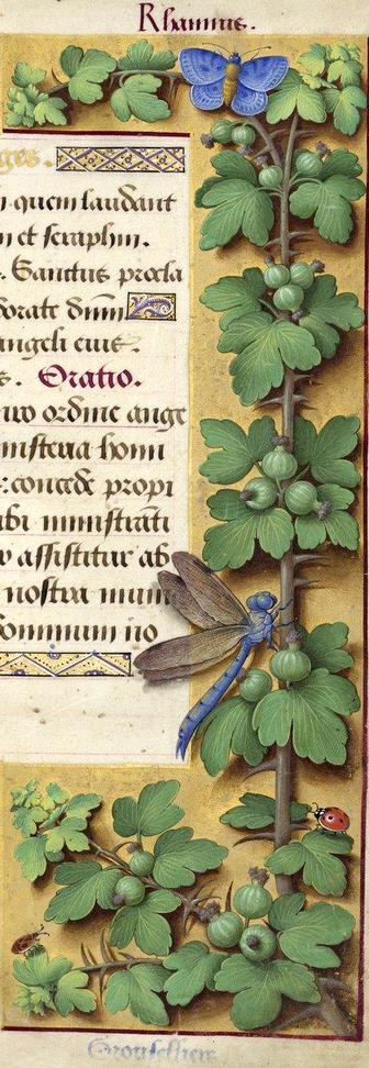 Grouselliers - Rhamnus (Ribes uva-crispa L. = groseilles à maquereaux) -- Grandes Heures d'Anne de Bretagne, BNF, Ms Latin 9474, 1503-1508, f°164r