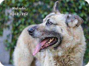 Los Angeles, CA - German Shepherd Dog. Meet MULUDA, a dog for adoption. http://www.adoptapet.com/pet/17925060-los-angeles-california-german-shepherd-dog