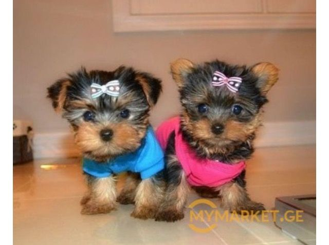 Pin by ani on Animals Yorkie puppy, Yorkshire terrier