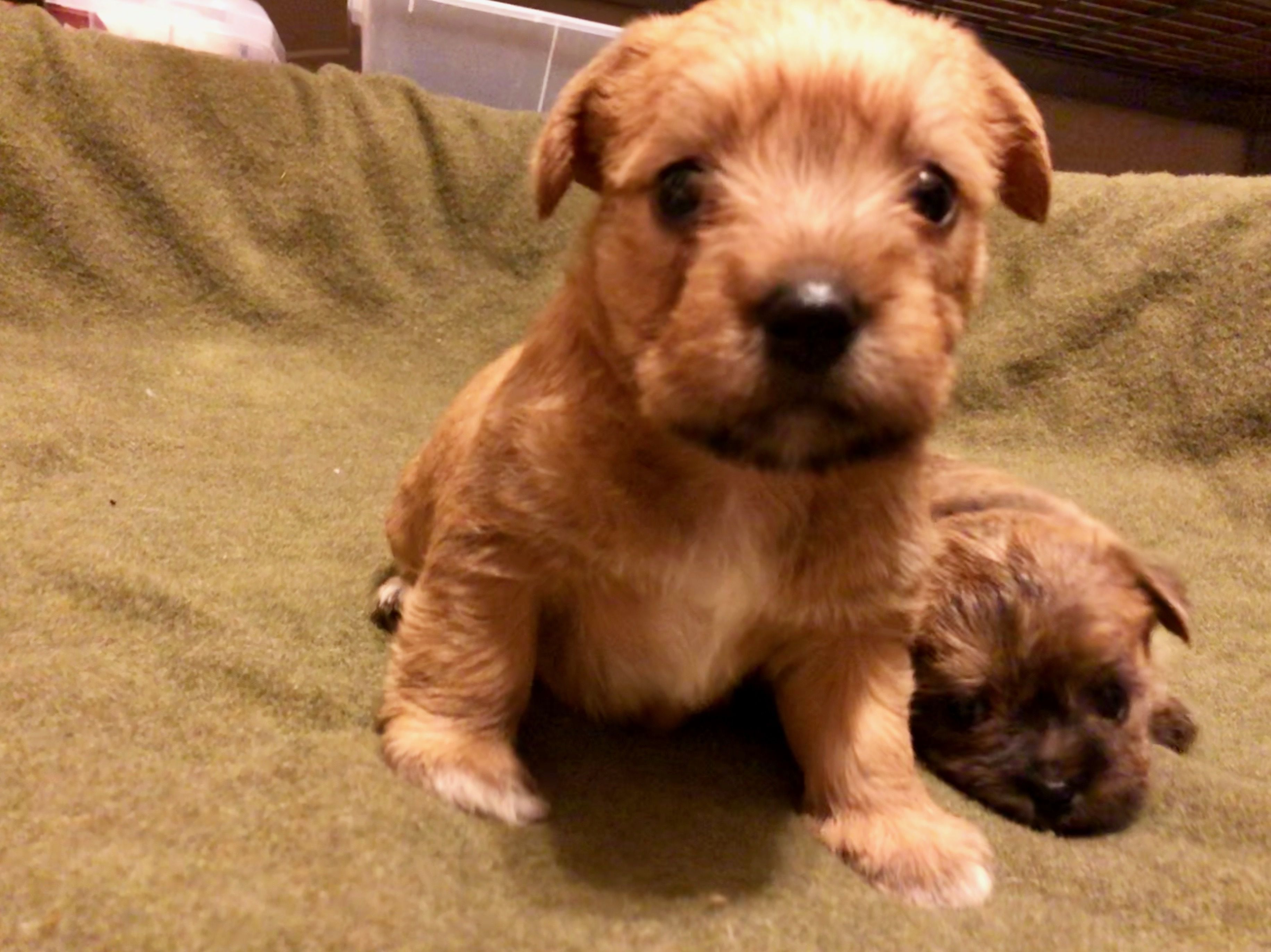 Adopt Tad Coming Soon On Terrier Mix Dogs Cairn Terrier
