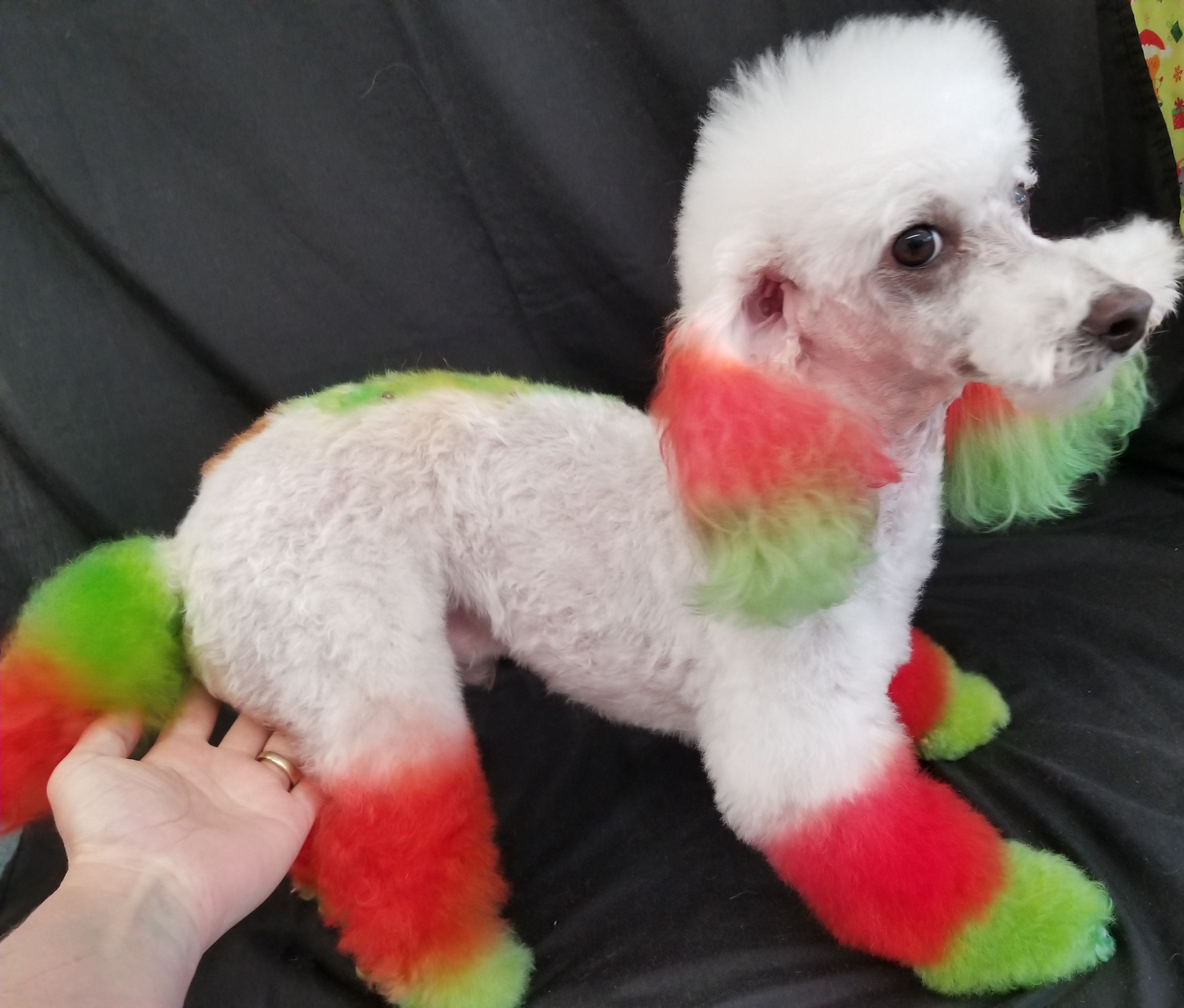 From Candy Corn To Christmas Tree Odin Is So Excited And Getting Ready To The Christmas Coming Eika S R Haas Shared Creative Grooming Dog Hair Dye Dog Hair