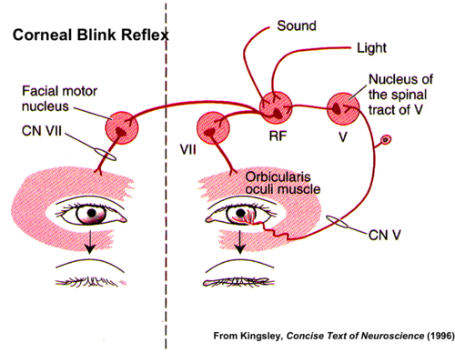 Neurology Flashcards Quizlet Neurology Flashcards Study Tools