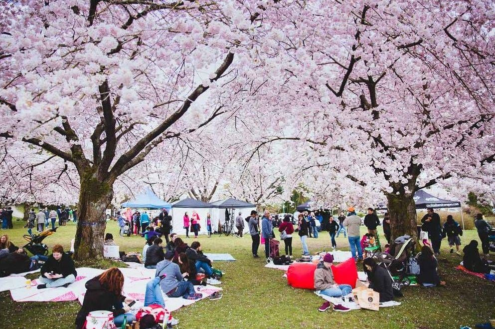 Vancouver Cherry Blossom Festival 2018 To Host A Big Picnic Under The Blooming Trees Cherry Blossom Season Cherry Blossom Festival Flowering Cherry Tree