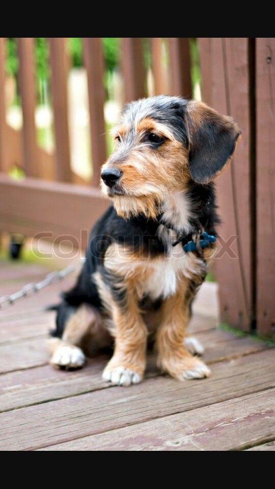 Beagle X Yorkie Terrier