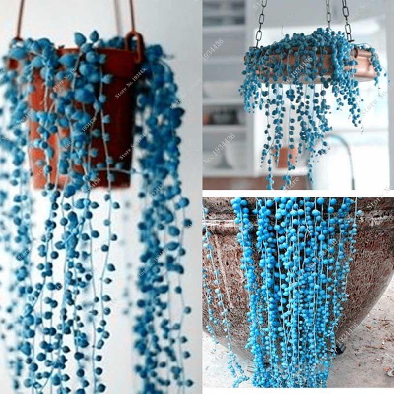 Blue beads senecio rowleyanus seed pearl chlorophytum