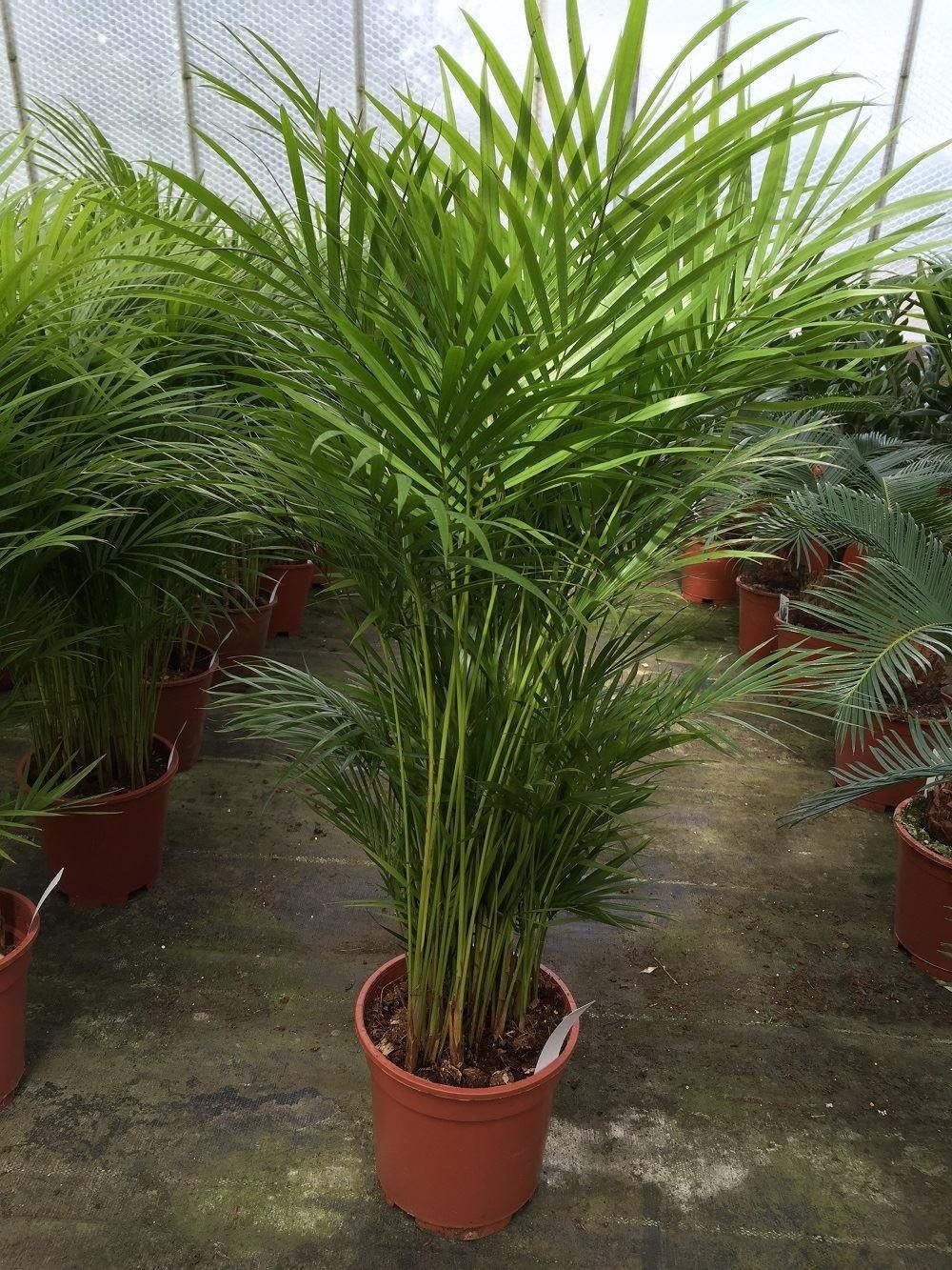 Chrysalidocarpus Space For Life Chrysalidocarpus Lutescens Areca Palm House Plant In 19cm Pot