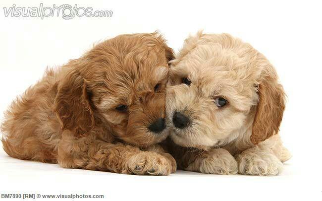 Cockerpoo Babies (Cockerspaniel + Poodle) | Cockerpoo ...