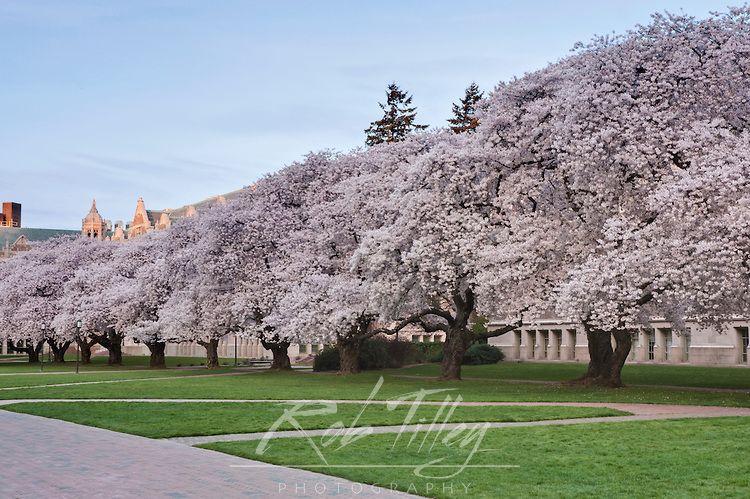 Usa Wa Seattle University Of Washington Yoshino Cherry Trees Blooming Yoshino Cherry Tree University Of Washington Yoshino Cherry