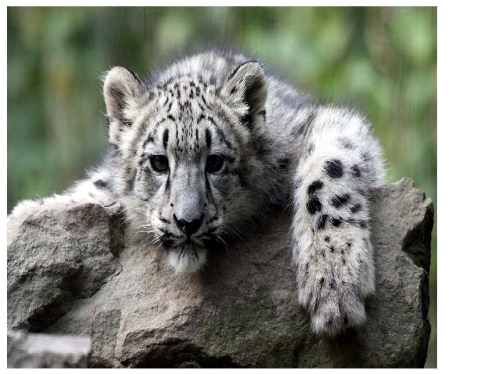 949 Baby Snow Leopard Cub Image Computer Mouse Pad 9 X 7 Or Hot