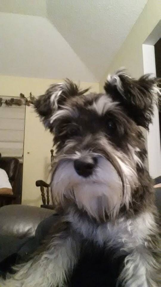 8 Month Old Mini Schnauzer All Love And Eager Anticipation Schnauzer Puppy Mini Schnauzer Mini Schnauzer Puppies