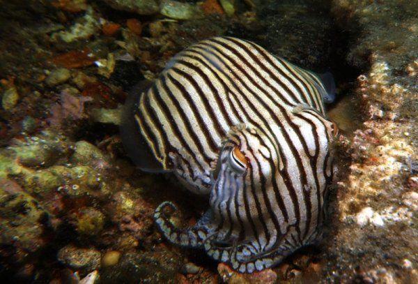 5c7f11c533 Striped Pyjama Squid. Photo by Scubagirl85