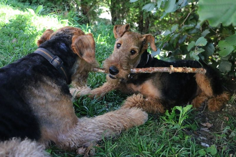 Pin Auf Airedale Terrier