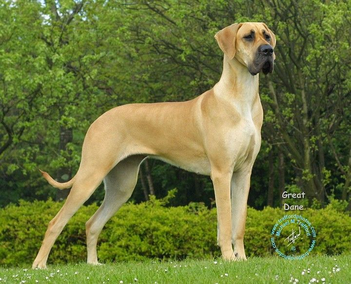 Fawn Great Dane Great Dane Fawn Great Dane Dogs Great Dane