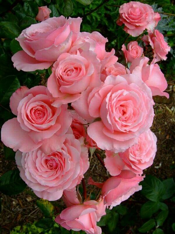 Pin By Caren Rennee Markham On Amazing Beautiful Rose Flowers