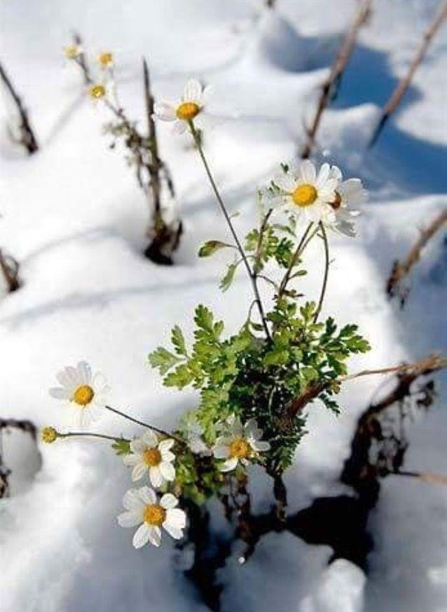 лишь ромашка в снегу картинка александр хотел стать
