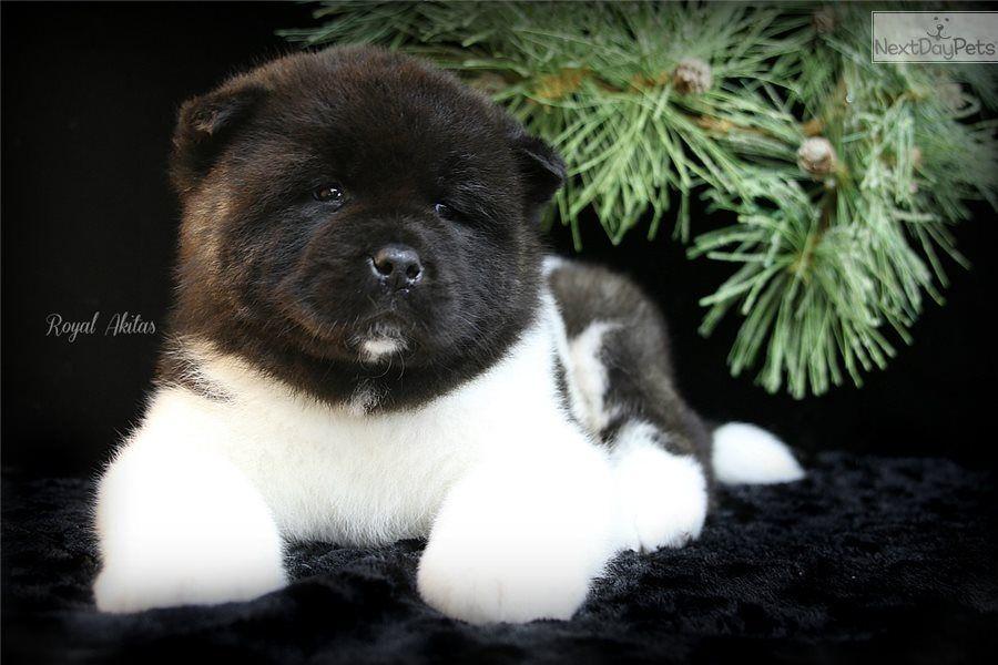 Vegas Akita Puppy For Sale Near Kansas City Missouri 20dbadfb
