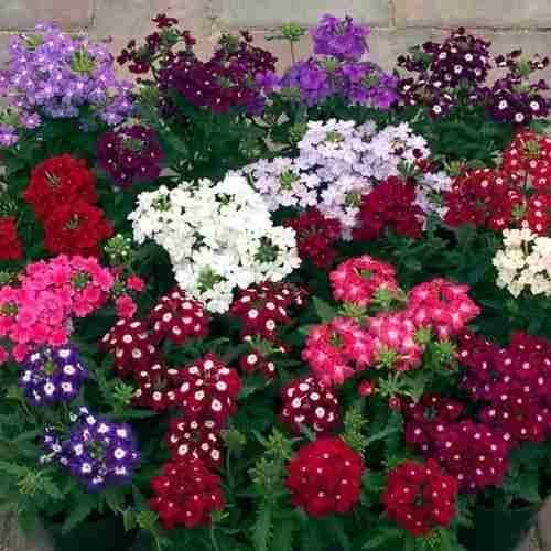 150 sementes flor verbena grandiflora sortida promoçao!!