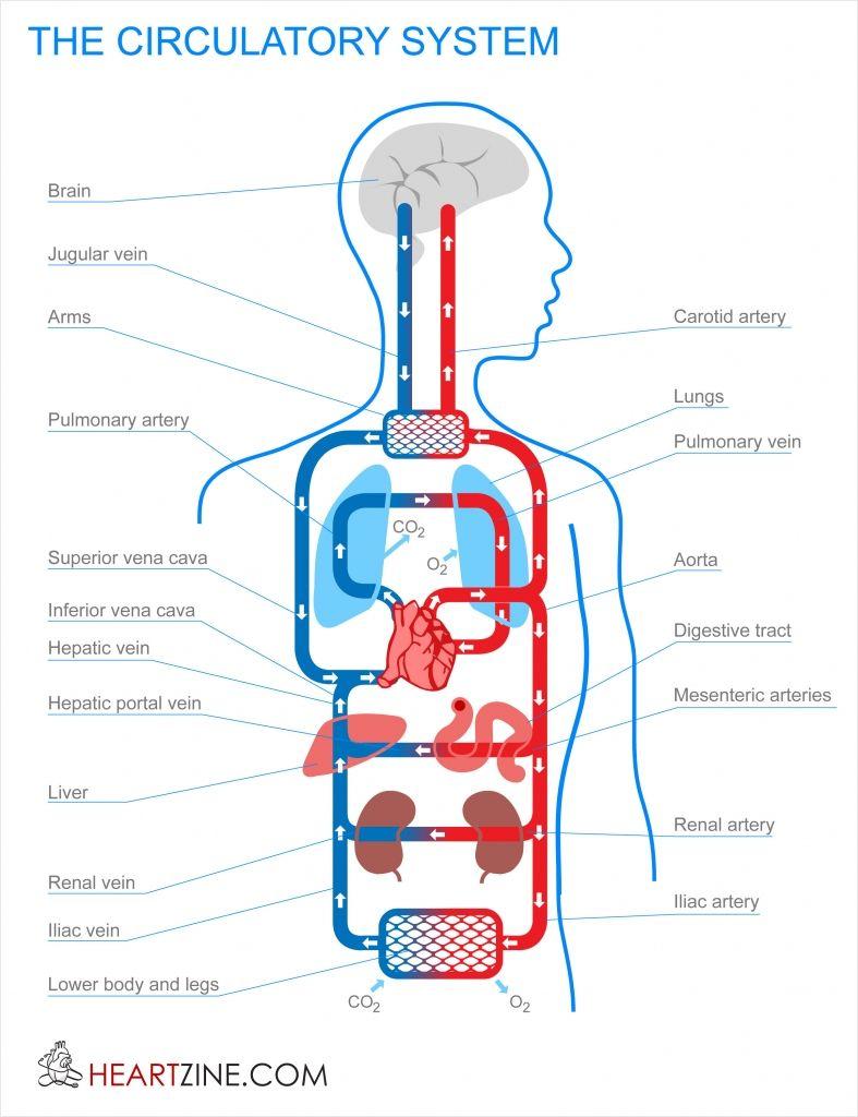 Major Organs The Circulatory System Main Organ Parts And Functions Quiz Worksheet Study Circulatory System Human Circulatory System Circulation System