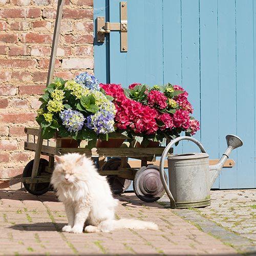 Pflanzencenter  Hortensien – ländliche Romantik auf Terrasse und Balkon - Wächter ...