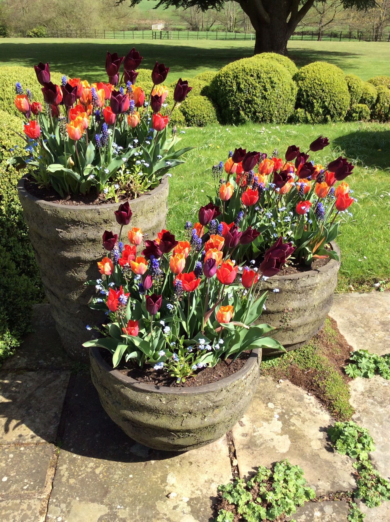 Mixed Tulips Container Plants Planting Pots Balcony Plants
