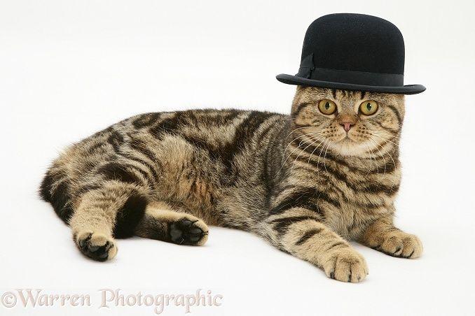 British Shorthair Brown Tabby Cat Wearing A Bowler Hat Photo Dieren