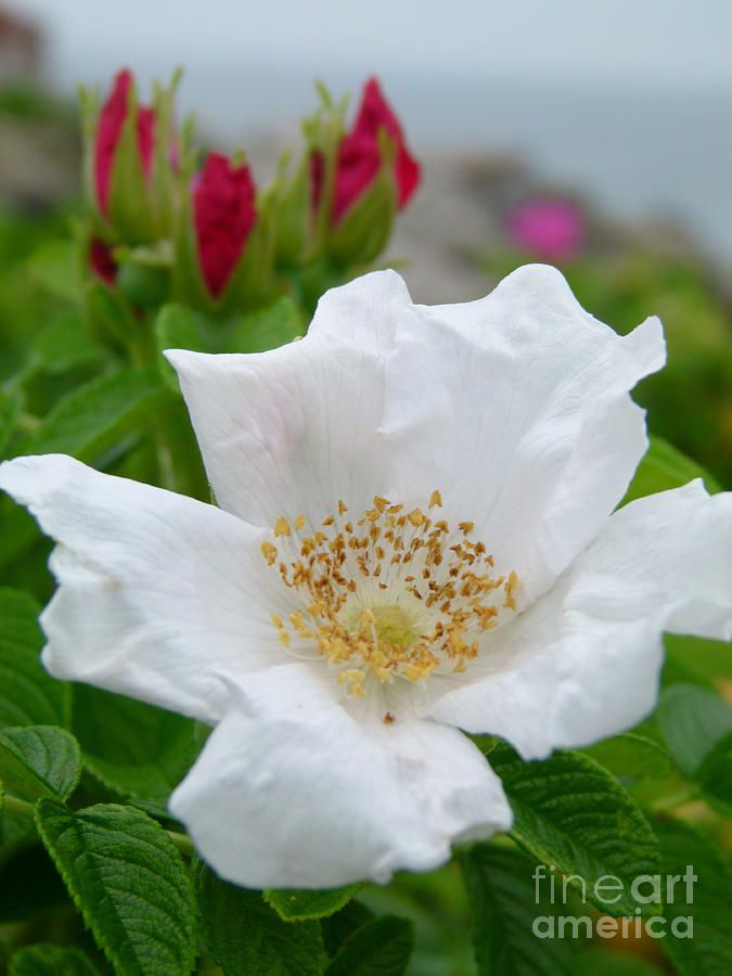 white beach rose photography flowers and trees pinterest white beach rose mightylinksfo