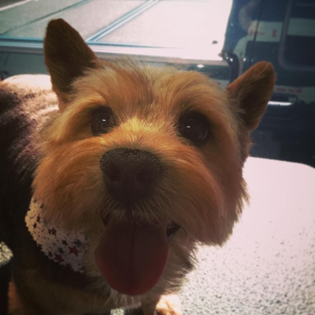 Clover A Sweet Norwichterrier In Universityplace Dog Groomer