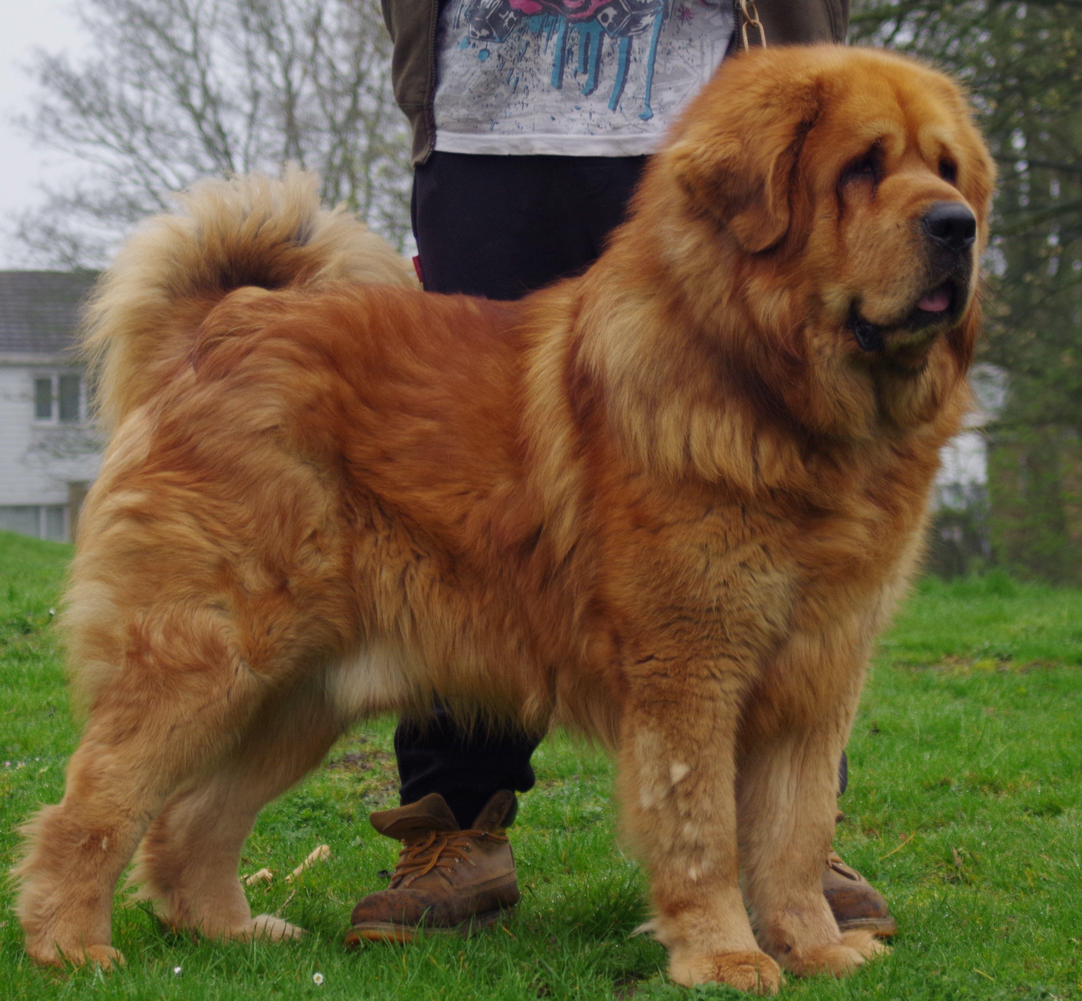 Best Tibetan Mastiff Uk Gold Tibetan Mastiff Tibetan Mastiff Mastiffs Mastiff Puppies
