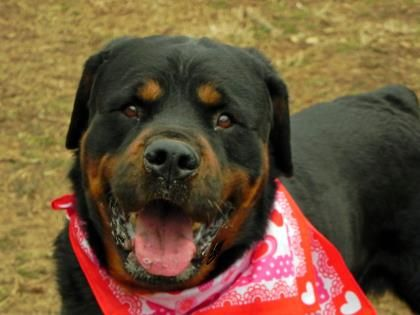 2 23 Petango Com Meet Sumo A 5 Years Rottweiler Available For