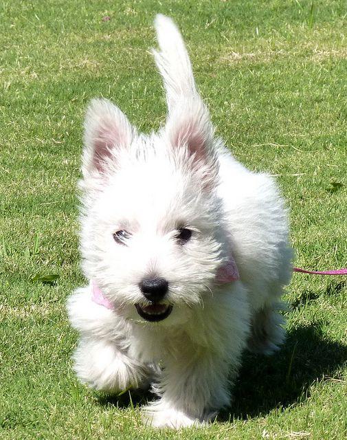 Untitled Westie Puppies Westies Dogs