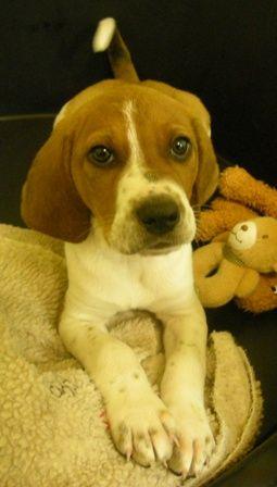 Coonhound Walker Cross Looks A Lot Like A Beagle To Me
