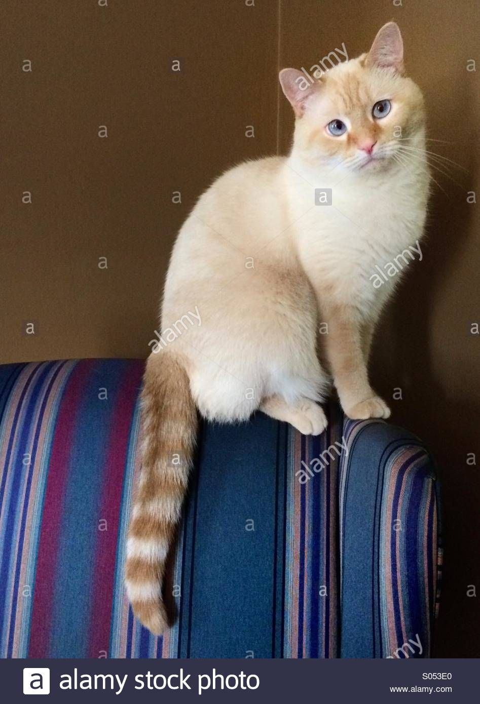 Flame Point Siamese Domestic Shorthair Stock Photos Amp Flame Point Simease Cats Grey Kitten Cute Cats And Kittens