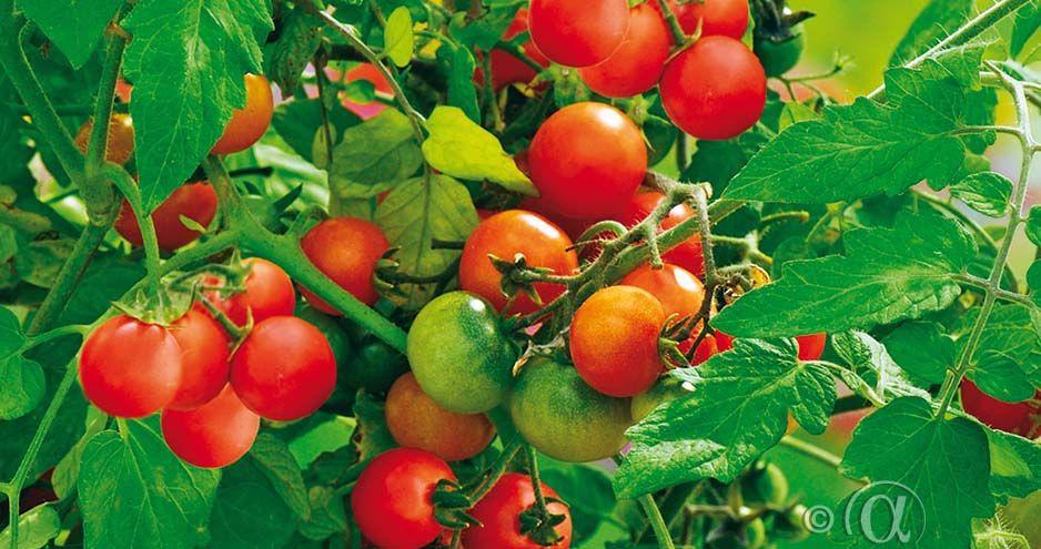 Tomaatti, Kirsikka-, Tiny Tim