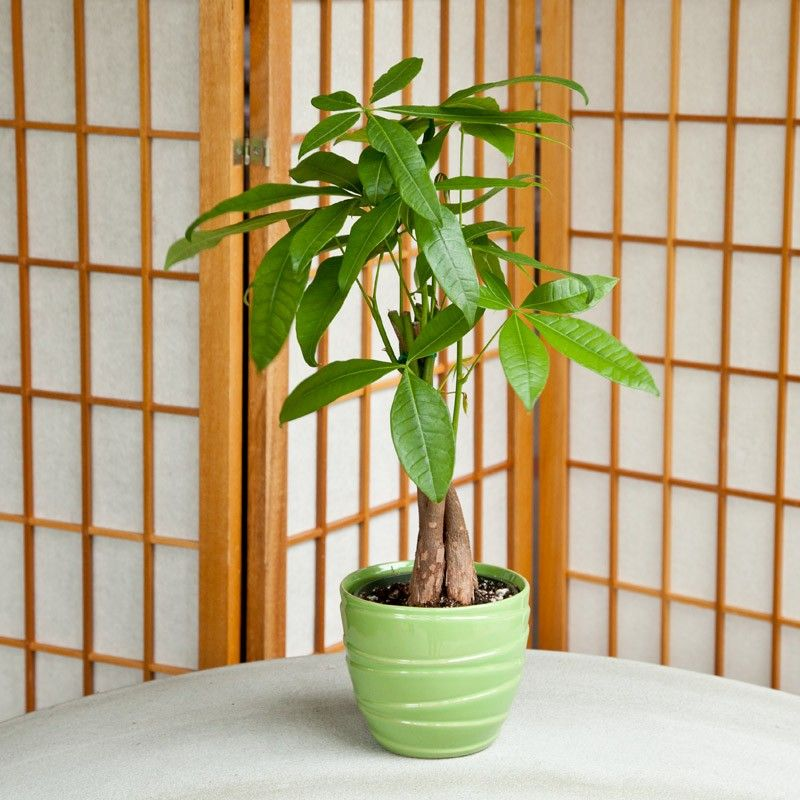 8 Indoor Plants That Are Safe For Pets Also Improve Our Health Dog Cat And Other Pet Friendly Travel A Safe House Plants Money Tree Plant Cat Safe Plants