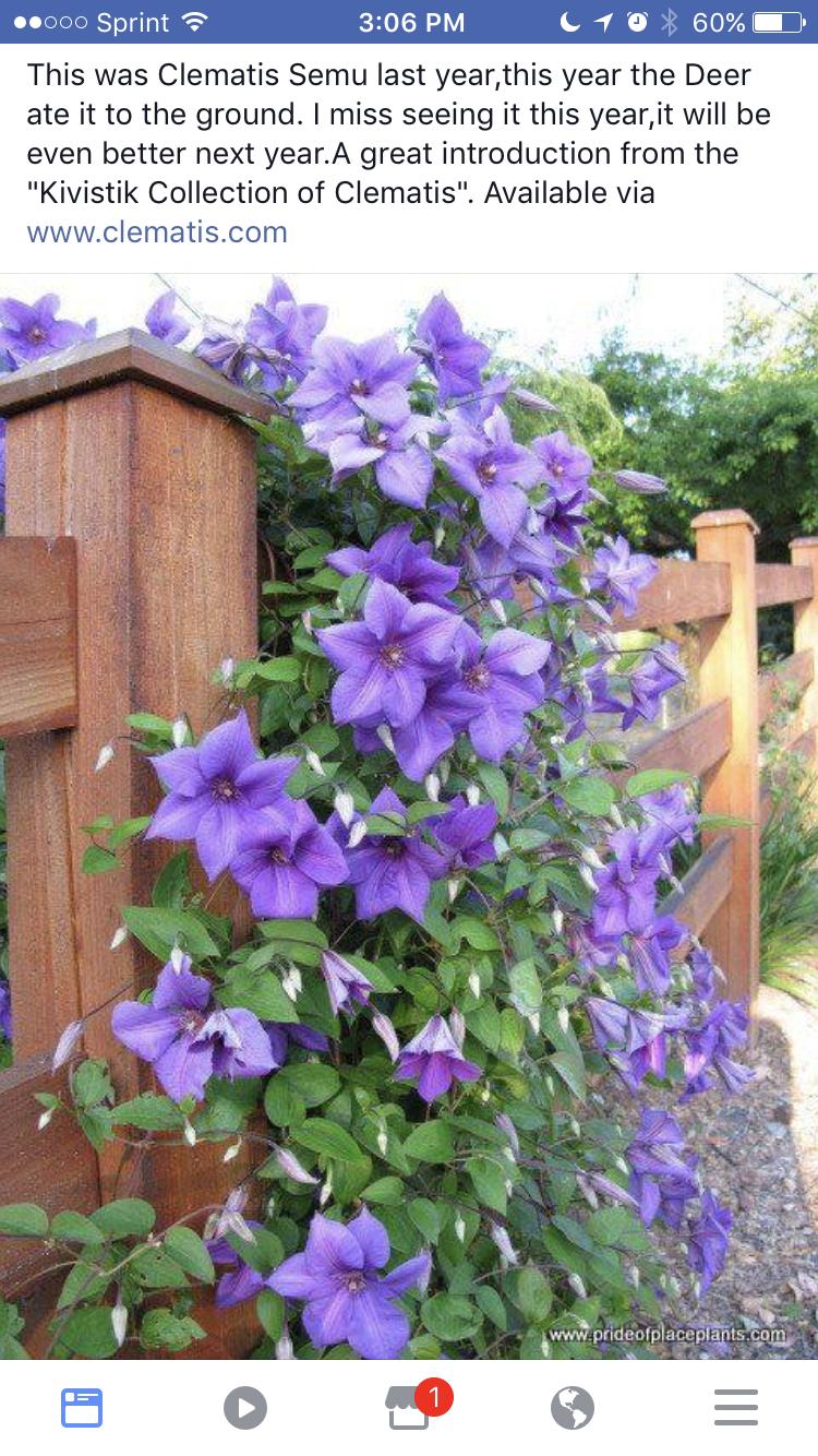 Idea By Cynthia Brassfield Richmond On Clematis Clematis Clematis Vine Garden