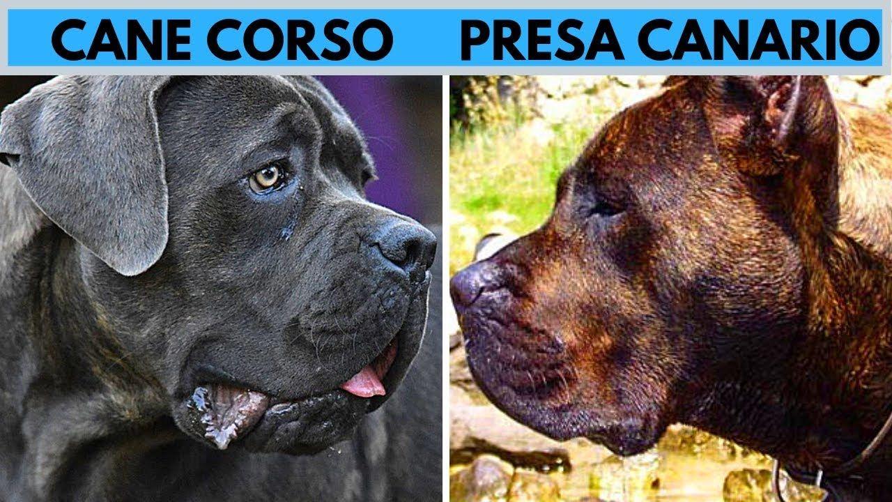 Cane Corso Vs Presa Canario Facts And Difference Presa Canario