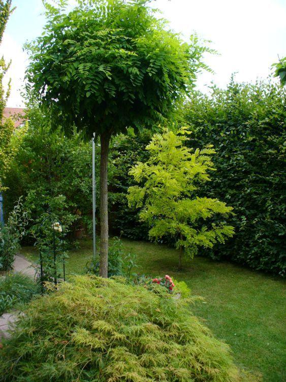 Kugel-Robinie / Kugelakazie - Robinia pseudoacacia 'Umbraculifera' #ummauertergarten