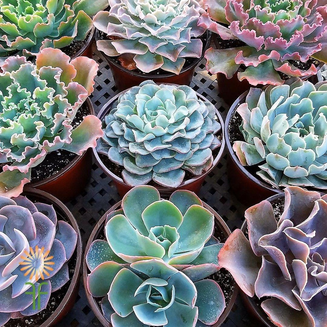 Succulents small